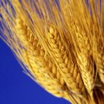 wheat stalks